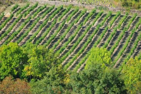 Vigne de gamay à Boudes - de Cave CHARMENSAT