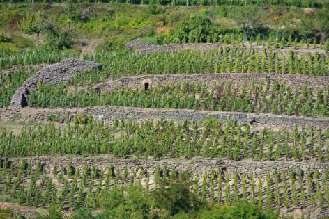 Vigne centenaire sur Pailhats à Boudes - de Cave CHARMENSAT